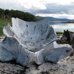 Thunder found the remains of a whale on the beach.