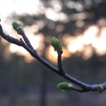 The first buds of spring.
