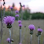 Thistles in a meadow in the evening light.
