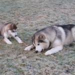 Puppy Lyra and Tuisku 6 years.