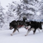 Thunder and Gem on a training run in the woods near our cabin.