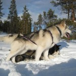 Tuisku during a skijoring excursion in 2008.