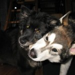 Sharing a toy with a Finnish Lapphund buddy.