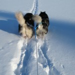 Leia and Thunder in deep snow, winter 2011.