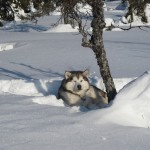 Tuisku resting comfortably in the snow.