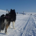 Leia skijoring on groomed trails in Hetta.