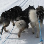 Thunder, Leia and Tuisku heading home after a day of skijoring in the Ounastunturi fell area.