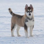 Puppy Titan, having just arrived in Lapland.