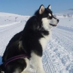 Skijoring trip on groomed trails in Finnish Lapland.