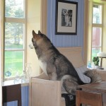 Pearched on his favourite lookout point in the kitchen.