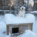 Tuisku on top of his dog house.