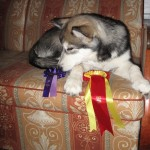 Ribbons from her first show!