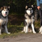 Wilder and Hilary (left) hanging out with some Malamute friends: Tiffany, Jada and Lola, owned by Johanna Kaati of kennel SnoCrib.