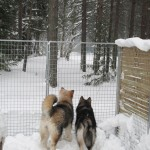 Hilary and Lyra in their pen after a big snowfall.