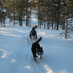 Gem and Jeti roaming our property in Lapland.
