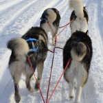 4-dog team; Lyra and Tuisku in lead, Gemma and Thunder in wheel.