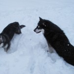 Gem is now 4 years old and is doing a great job teaching our younger dogs proper behaviour.