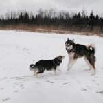 Our two Sledog kids - Sledog Dream Leaper & Sledog Mountainous Peak.