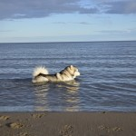 Tuisku relaxing in the sea - June 2014.