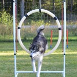 Agility in the garden - August 2012.