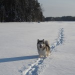 Tuisku is a reliable dog - at least when there are no reindeers around. ;)