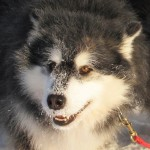 Malamutes thrive in cold weather. This morning we had -34C and Leia and Thunder were out frolicing in the snow as usual.