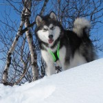 Lyra in Lapland, April 2012.