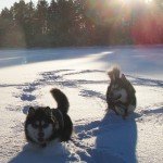 Gem and Titan had fun in the snow after their run.
