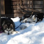 Best buddies Xion (8 months) and Kiska (3 years) resting after a run on the trail.