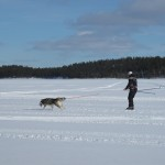 Lyra and Fredrik skijoring on the ice.