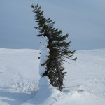 A lone spruce bent by snow and wind.