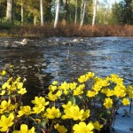 Beautiful Marsh Marigold on water&#039;s edge.