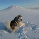 Malamutes look truly at home in this landscape.
