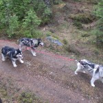 The team from above.  Leia (7 years) and Thunder (soon 8 years) in wheel and Tuisku (soon 7 years) in lead.