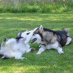 Our lovely Sledog Kids - Lyra & Titan, bred by Nicola Singh and Stuart Winterton of Sledog Kennels in the UK.