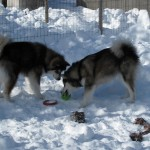 The girls did some work in harness during our holiday in Lapland but, most of the time, they were just being pups.