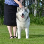 Tuisku at 7 years of age - soon all of the winter coat is gone.