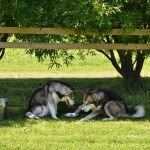 Lyra and Titan having a water break in the shade.