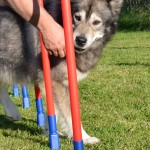 Thunder learns the weave poles.