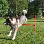 8-year-old Thunder is mad about agility!