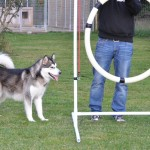 "Sledog Dream Leaper, aka ""Lyra"", at 12 months of age."