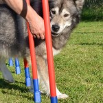 Thunder practises the weave poles.