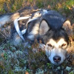Lyra resting comfortably on a bed of lingonberry, heather and moss.