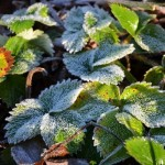 Frozen strawberry plants in our garden.