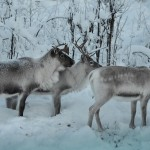 Reindeer along the trail to Aktse, when the snow gets too deep during midwinter, it is sometimes difficult for them to find food.