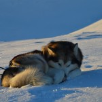 Tuisku curls up in the snow.