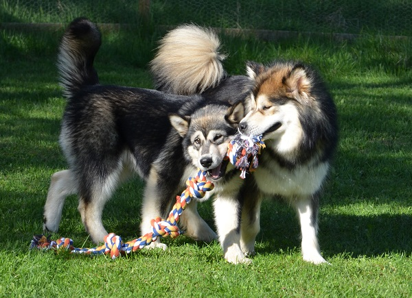 The Five Knot Rope Toy is great for sharing.