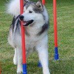 Tuisku trying out the weave poles.