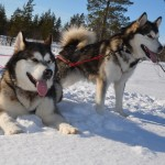 Our Sledog kids - Titan and Lyra.