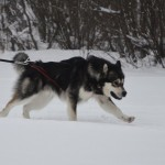 Wilder's first skijoring run!